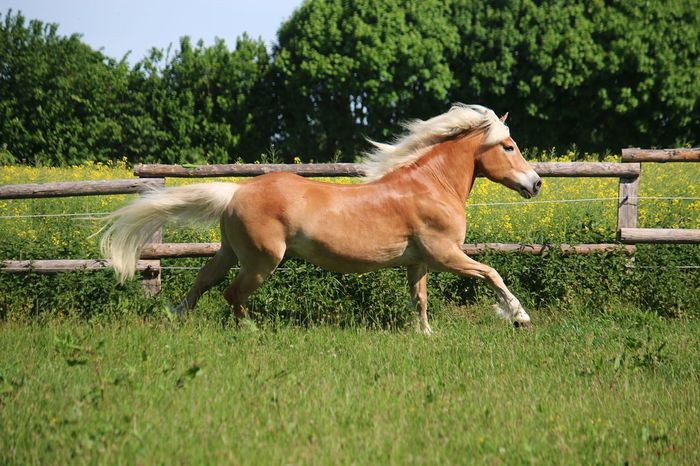 beautiful haflinger horse is running on a paddock in the sunshine Beautiful Haflinger Horses Rapeseed Field Running Action Active Animal Animal Themes Animal Wildlife Blond Hair Brown Field Grass Horse Horse Photography  Land Livestock Mammal Nature Outdoors Paddock Pets Rapeseed Sport
