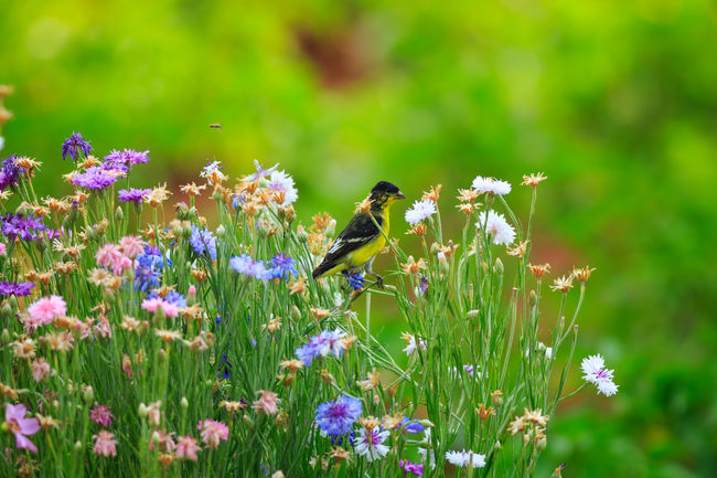 Goldfinch & bachelors buttons Flower Animal Wildlife Animals In The Wild In My Garden Beauty In Nature Plant One Animal Flowers Bachelors Button Backyard Birder Backyard Wildlife Animal Themes Nature