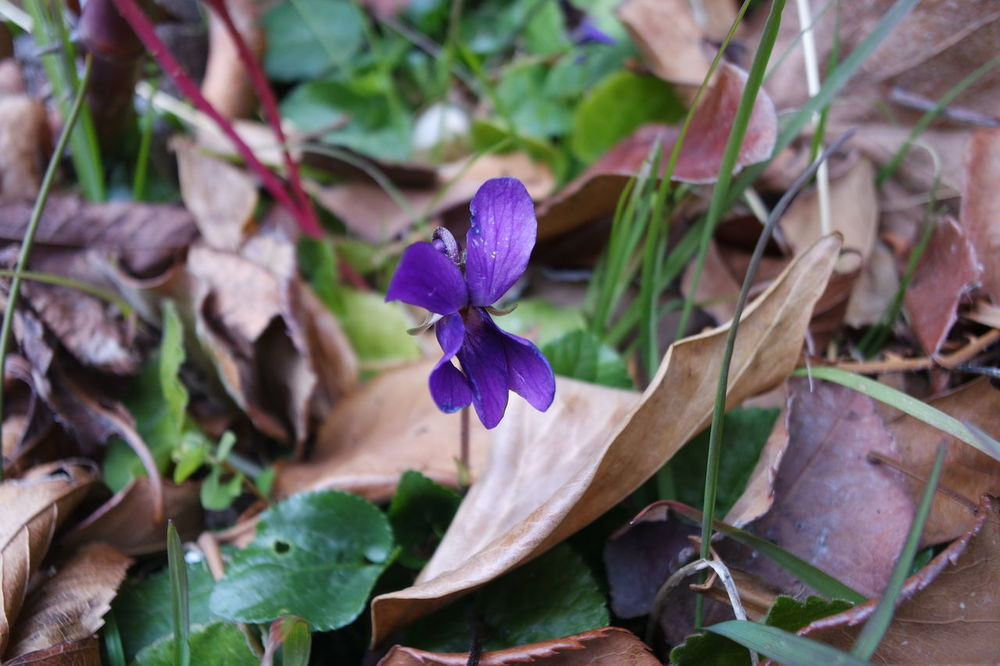 Beauty In Nature Day Flower Flower Head Fragility Freshness Growth Leaf Leaves Nature No People Outdoors Petal Plant Purple Violet Violeta