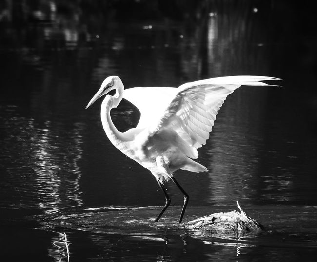 Nature Animal Wildlife Animal Themes Eyeem Animal Best Shots EyeEm Best Shots - Nature Wildlife & Nature Beauty In Nature Riverside Photography Animals In The Wild Blackandwhite Photography Monochrome Photography Spread Wings Egret In Lake EyeEm Nature Lover Wildlife Photography Water Bird Eyeem Nature
