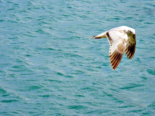 Bird Carefree Flying Flying Bird Gull Gulls Sea Seagull Seagulls Water Waterfront Omaha Nebraska Omaha, Nebraska Heartland Of America Park At Heartland Of America Park Blue Wave