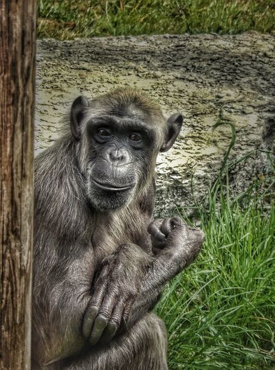 Chimpanzee One Animal Animal Themes Animals In The Wild Grass Wildlife Field Zoo Mammal Nature Close-up Ape Mammal Looking At Camera Zoology Tree Trunk Animal Outdoors Day Snout Animal Head  Focus On Foreground Animal Hair Endangered Species Zoo No People Fresh On Eyeem