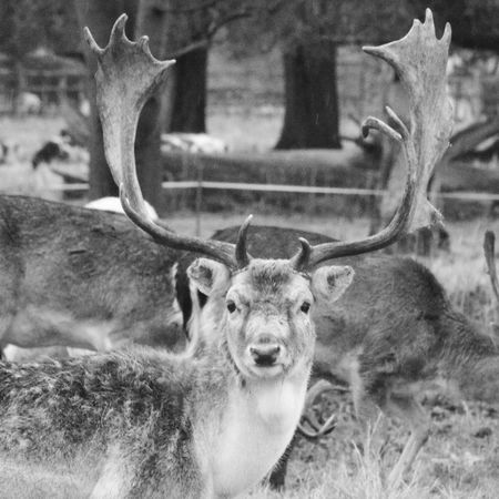 Animal Themes Mammal Horned Deer Antler Animals In The Wild Stag Close-up Outdoors Black And White Photography Fallowdeer Animals In The Wild Bnw_collection