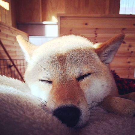 Dog Shiba Inu 柴犬の柴田 柴犬 Shibainu