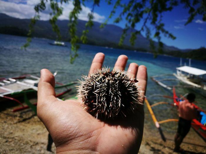 Human Hand Sea Outdoors Nature Beach Sea Urchin Sea Life Philippines Seaside