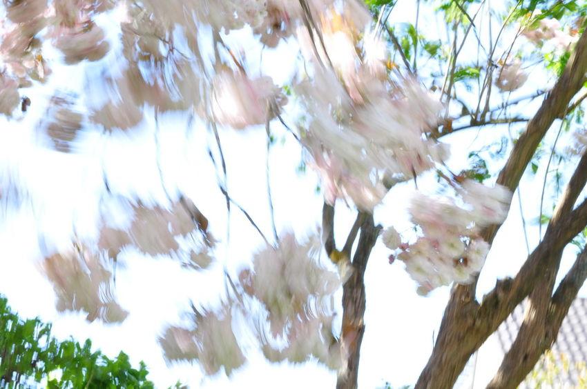 Cherry Blossoms Motion Blur Wind Blown Branch Cherry Tree Flower Fragility Moved By Wind Prunus Serrulata Shirofugen Sakura Blossom Wind