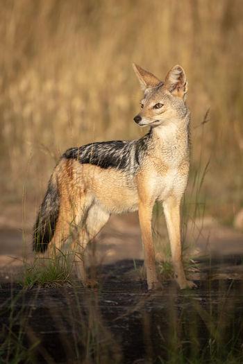 Full length of jackal standing on land