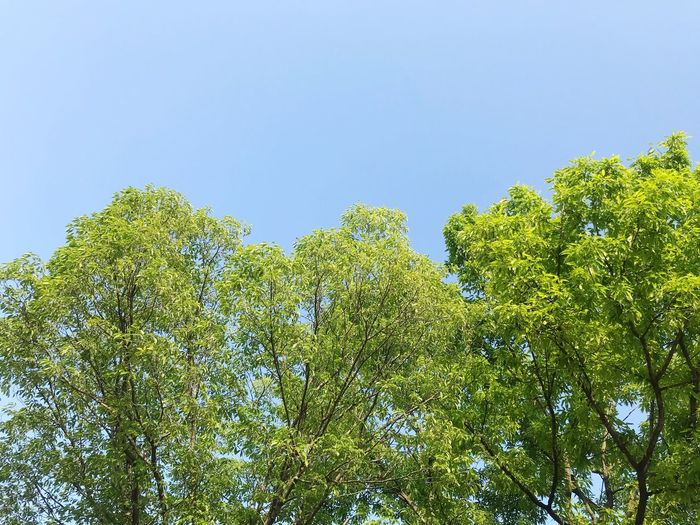 Plant Sky Growth Green Color Low Angle View No People Tree Beauty In Nature Day Nature Clear Sky Outdoors Tranquility Green Leaf Plant Part Branch Blue