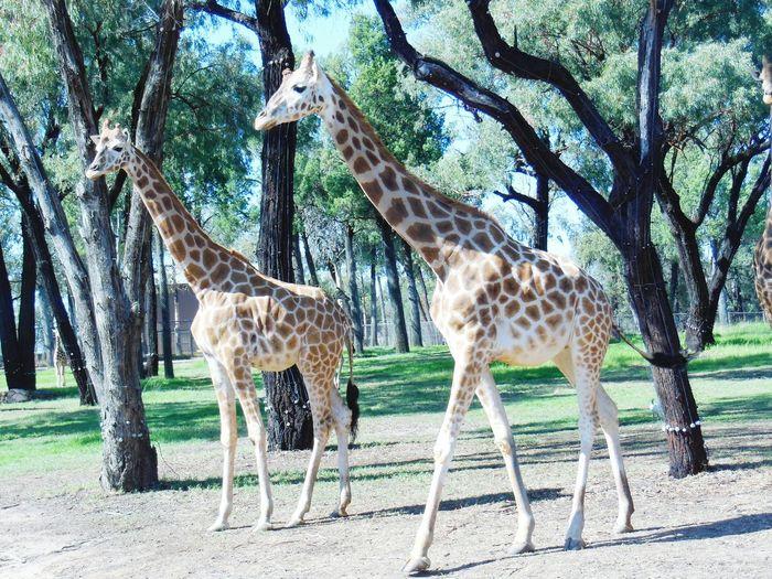 Full Length Of Giraffes Walking In Forest