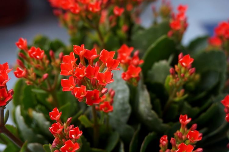 Four red petal flower Kalanchoe Flower tropical succulent plant or better known as Widow's-thrill Beauty In Nature Blooming Close-up Day Flower Flower Head Fragility Freshness Growth Kalanchoe Kalanchoe Blossfeldiana Kalanchoe Flower Nature No People Outdoors Petal Plant Red Red Red Flower