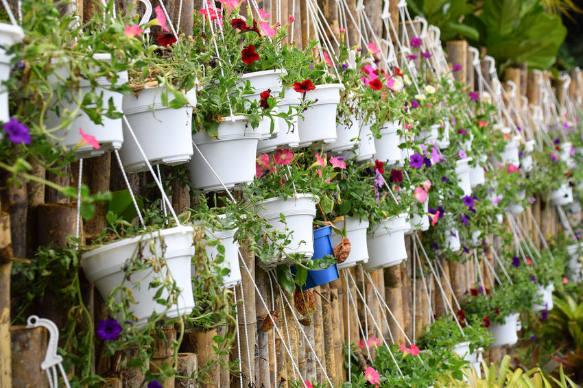 Pots of flowers on bamboo fence. Growth Fresh Flower Greenhouse Summer Potted Plant Window Box Gardening Plant Petunia Horticulture Pansy Flower Pot Plant Life In Bloom Botany