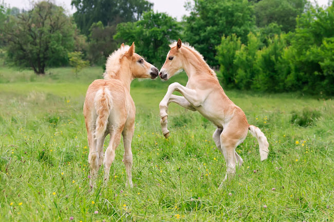 Two cute Haflinger foals have fun, playing, rearing and frolic around in a meadow. Funny Haflinger Ponies Pony Young Action Animal Avelignese Colt Competition Cute Foal Foals Frolicking Frıends Haffis Haflinger Horse Horse Jumping Meadow Outdoors Playing Rearing Togetherness Two Animals