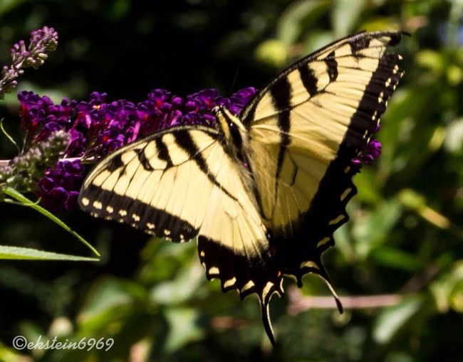 Flowers streamzoo family butterfly