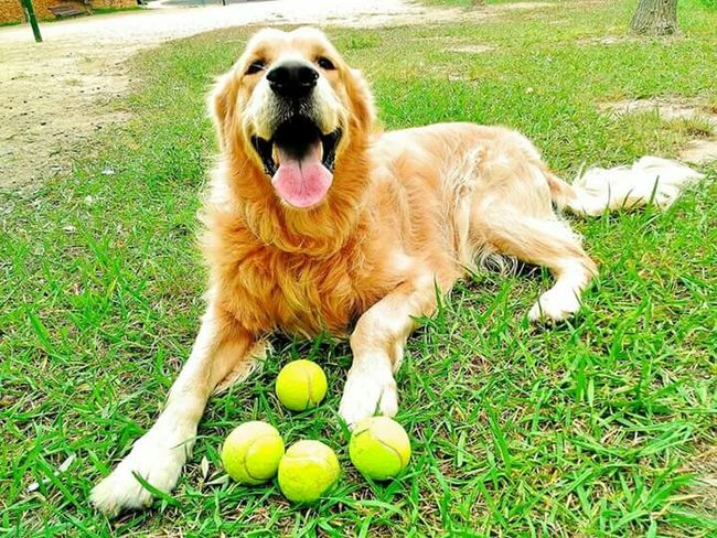 Domestic Animals Tennis Ball Mammal Looking At Camera Grass Pets One Animal Ball Outdoors Day Portrait Protruding Animal Themes No People Dog Nature Plant Golden Retriever Golden Dog❤ Dogslife Dogfriend Playing