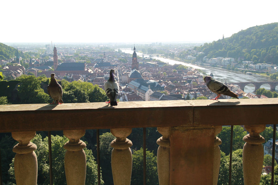 Bird Building Exterior Built Structure City Pigeon Day Daylife Germany Heidelberg Nature Outdoors The City Light Neighborhood Map