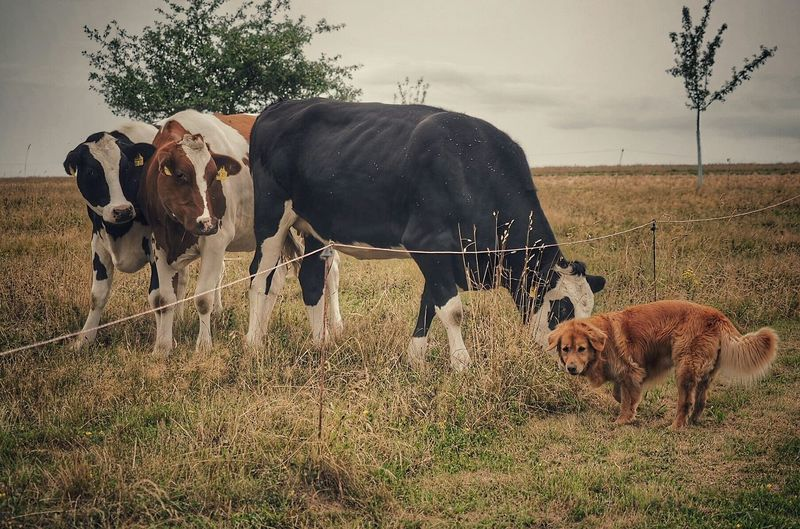 Cows And Dog On Grassy Field