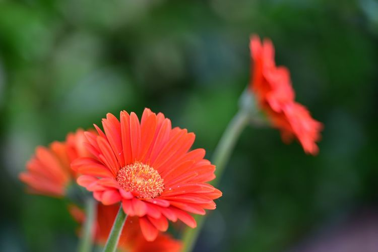 Close-up of red orange flower in park