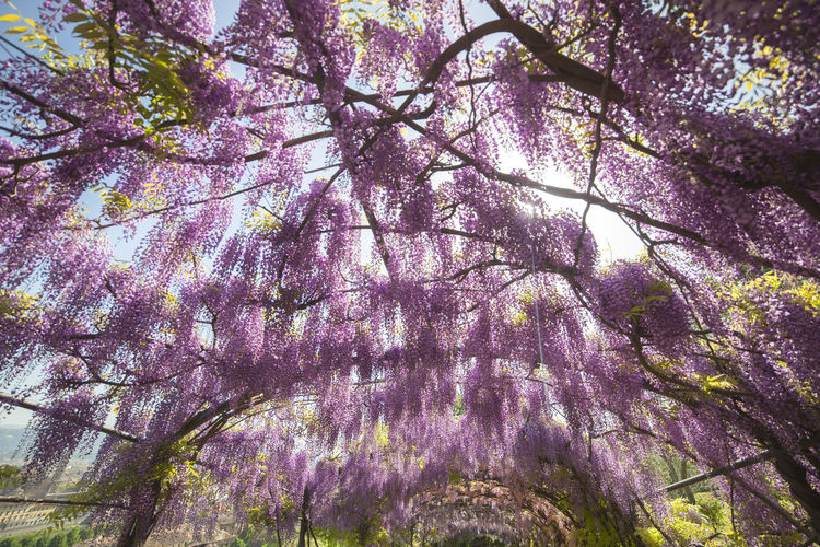 The Bardini garden Beauty In Nature Blossom Branch Cherry Blossom Cherry Tree Day Flower Flowering Plant Fragility Freshness Growth Low Angle View Nature No People Outdoors Pink Color Plant Purple Spring Springtime Tranquility Tree Vine Vulnerability  Wisteria