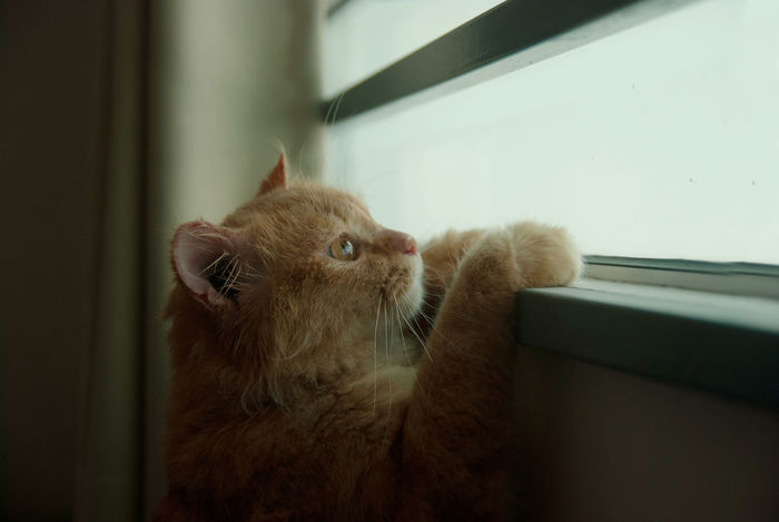 Curious Cat Cute Pets Hiding In Plain Sight Animal Themes Cat Close-up Curious Cute Cats Day Daydreaming Domestic Animals Domestic Cat Feline Ginger Cat Hiding Indoors  Mammal No People One Animal Peeking Persian Cat  Pets Seeking Whisker Window Sill
