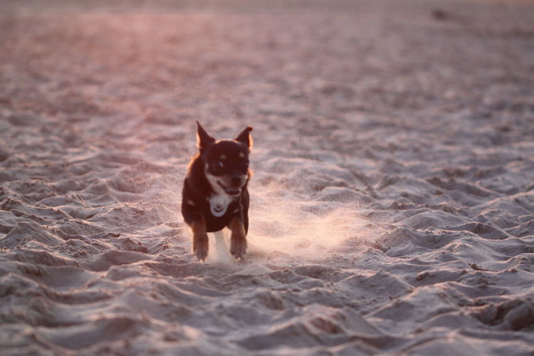 Running Motion Sunset Looking At Camera Land Portrait No People Day Selective Focus Nature Canine Dog Vertebrate Domestic Animals Domestic Mammal Pets Animal Animal Themes One Animal Chihuahua Chihuahua - Dog Chihuahualovers Chihuahua Love ♥ Chihuahuas<3 Fun Dog Running In Sand Dog On Beach Small Dog Paws Chihuahua Puppy Brown White Background Cute Dogfood High Energy Healthy Dog