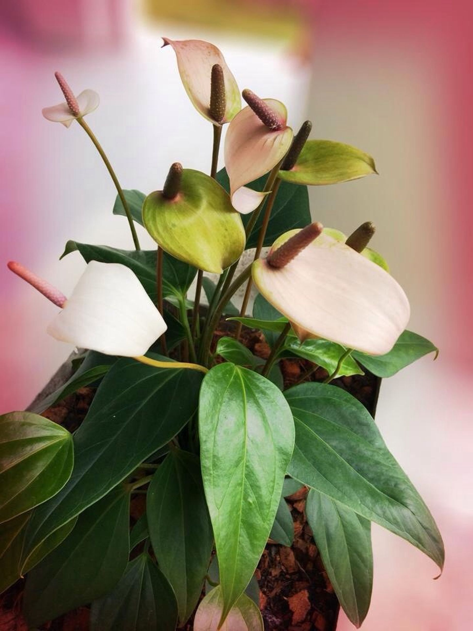 leaf, flower, freshness, growth, fragility, petal, close-up, plant, beauty in nature, nature, stem, flower head, bud, focus on foreground, green color, no people, blossom, indoors, in bloom, botany