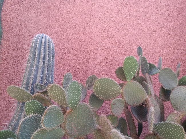 Beautiful cactus in Marrakech, Yves Saint Laurent Museum Medina Morocco North Africa North Africa Marocco Africa Beauty In Nature Cactus Close-up Marrakech Minimal Nature Minimalism Moroccan Cactus Moroccan Plant Nature No People Outdoors Pink Color Plant