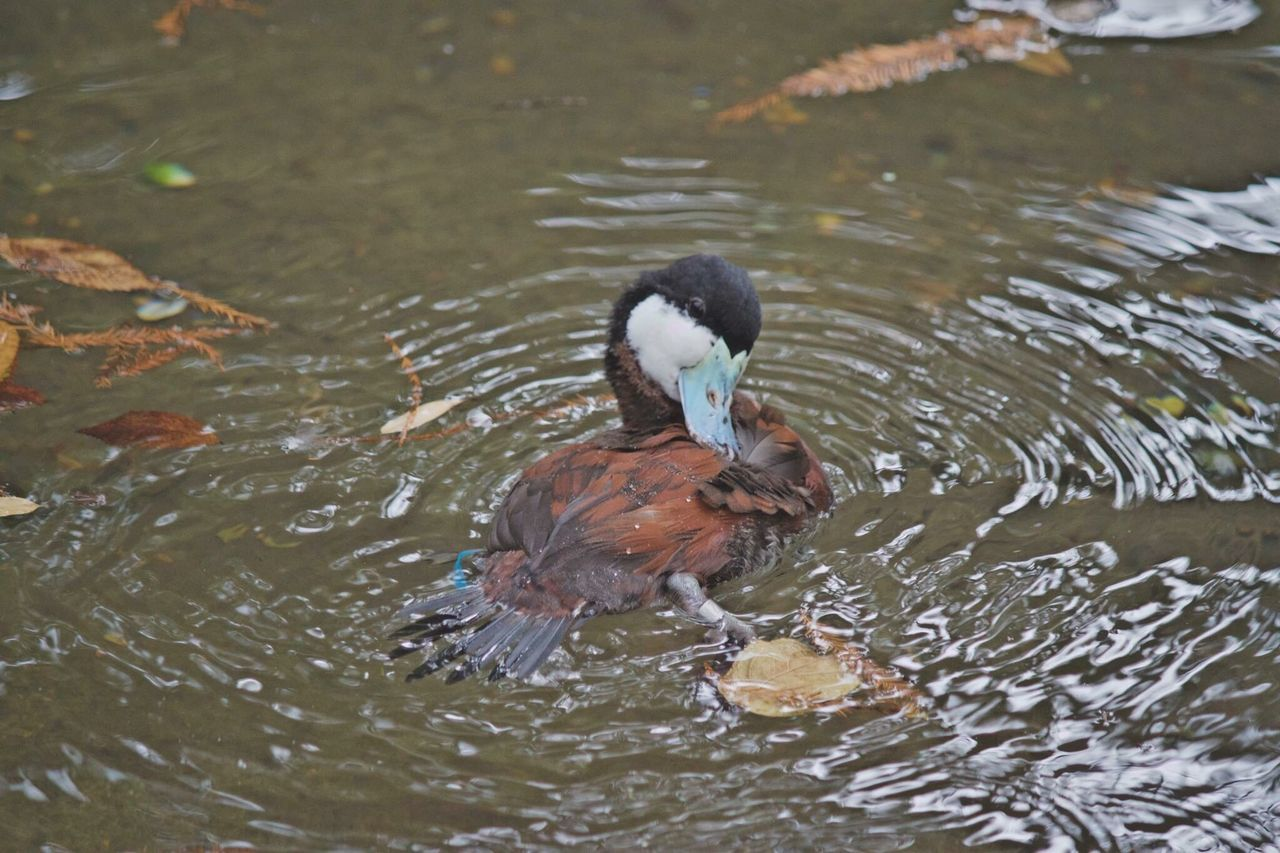 water, lake, animal themes, animals in the wild, duck, waterfront, bird, swimming, nature, day, animal wildlife, high angle view, no people, water bird, outdoors, one animal, mandarin duck, motion, spread wings