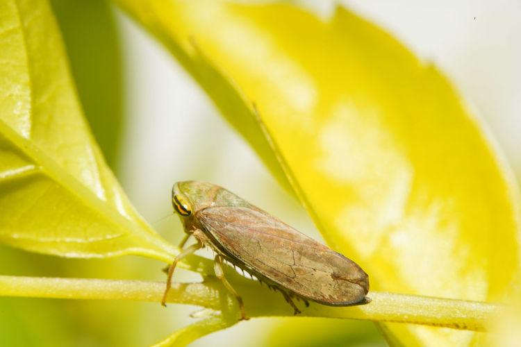 褐翅葉蟬 Insect