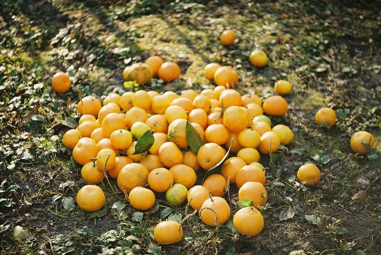 High angle view of oranges on field