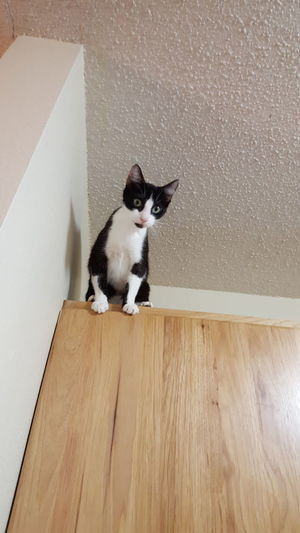 Animal Themes Pets Domestic Animals One Animal Cat Mammal Domestic Cat Looking At Camera Wood - Material Sitting Alertness Feline Hardwood Floor Day Zoology No People