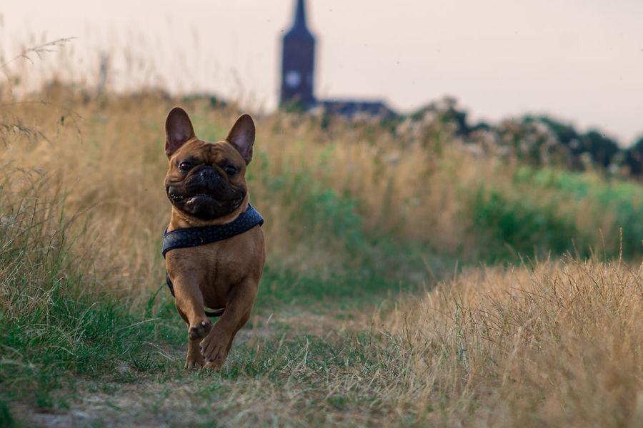 Französische Bulldogge  Hundefotografie EyeEm Selects Hundeportrait EyEmselect Düsseldorf Butsosexy Dogs Tierfotografie Dogs Of EyeEm Dogs Life Twerk Hunde #hundefoto Pets Portrait Dog German Shepherd Looking At Camera Ear Grass