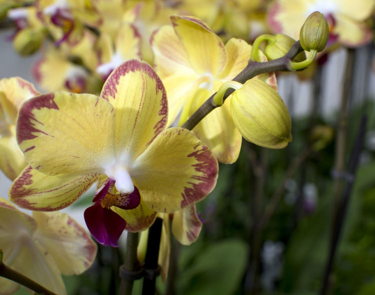 Yellow orchids with buds Orchids Yellow Yellow Orchids