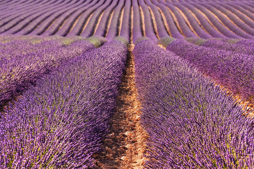 Lavender field in Provence France Giant Lavender Field Provence Agriculture Beauty Beauty In Nature Blossom Cultivated Land Day Field Flower Flowerbed Freshness Landscape Lavender Lavender Colored Nature No People Outdoors Perfume Purple Rural Scene Scenics Travel Destinations An Eye For Travel