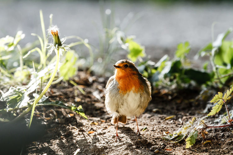 A backlit European Robin in the early morning sun Animals Backlight Backlighting Backlit Beauty In Nature Bird Photography Birds Erithacus Rubecula European Robin Robin Surrey Uk Wildlife Wildlife & Nature Wildlife Photography