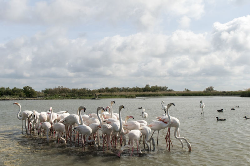Flamingos. Flamingo Large Group Of Animals Bird Outdoors Cloud - Sky Animals In The Wild Colony Flock Of Birds Sky Nature Animal Wildlife Lake No People Water Landscape Day Animal Themes Full Length Beauty In Nature France Saintes Maries De La Mer Gviarizzo