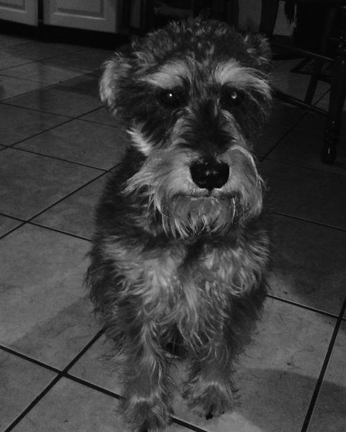 , home welcome Taking Photos Dog Shnauzer Petlove