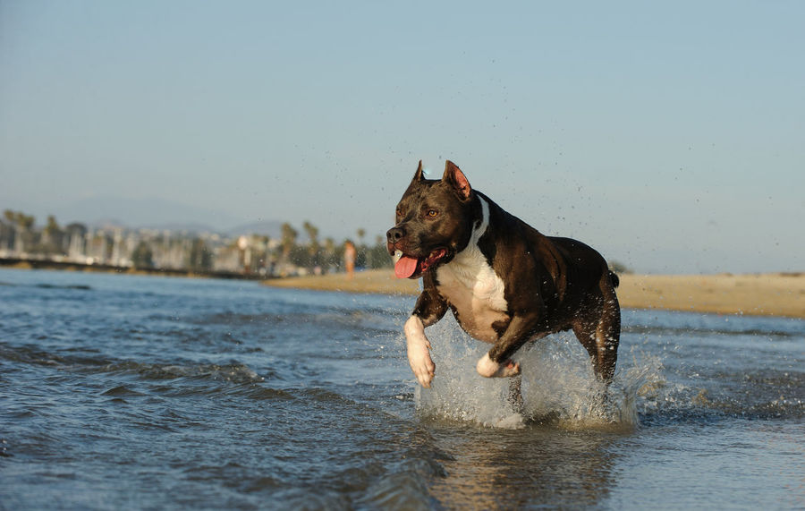 American Staffordshire Terrier dog Pit Bull Running Staffordshire Action Am Staff American Staffordshire Terrier Animal Themes Beach Blue Nose Cropped Ears Day Dog Domestic Animals Mammal Nature No People One Animal Outdoors Pets Pitbull Sea Water