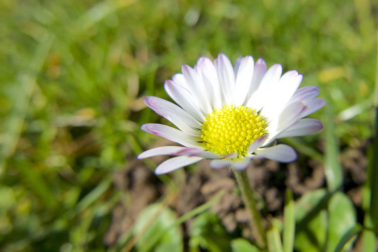 Close-up of white flower in field