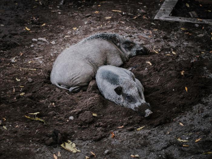 wild boar,