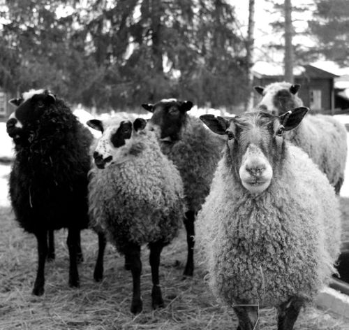 Chilin cheep Livestock Domestic Animals Animal Themes Mammal Nature Day Field Outdoors Tree No People Standing Looking At Camera Portrait Sheep