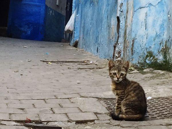 EyeEmNewHere Cat Morocco Tangier Stray Cat Cobblestone Blue Feline Animals Animals In The City Animal Kitty The Street Photographer - 2017 EyeEm Awards Neighborhood Map