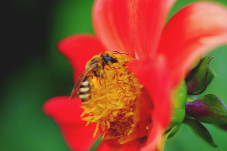 Flower Head Flower Bee Pollination Red Petal Insect Zinnia  Perching Close-up