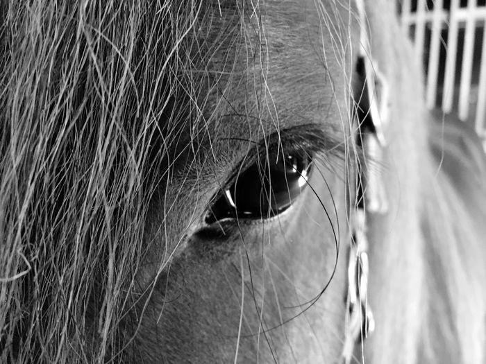 Das echte Auge von Hedin Eye Domestic Close-up Pets Domestic Animals Mammal Animal Themes One Animal Animal Eye Horse Animal Head