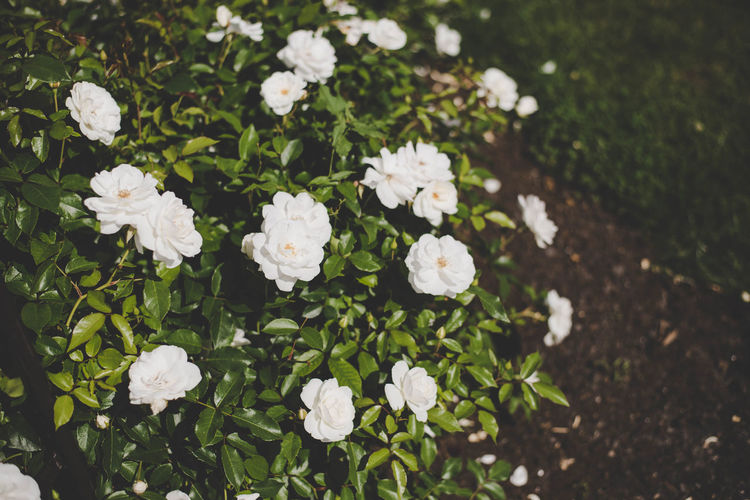 White roses bush Beauty In Nature Blooming Close-up Day Flower Flower Head Fragility Freshness Grass Growth Nature No People Outdoors Plant Spring Summer White Color