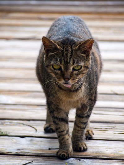A feral cat looking at the camera from a wood patio. Feral Cat Nature Patio Animal Themes Close-up Day Domestic Animals Domestic Cat Feline Looking At Camera Mammal No People One Animal Outdoors Outside Pets Portrait Wildlife Wood - Material