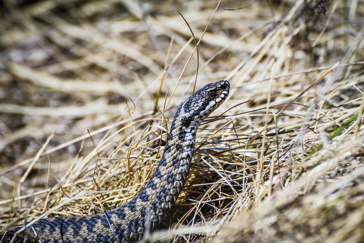 Adder om watchout Animal Animal Body Part Animal Head  Animal Scale Animal Themes Animal Wildlife Animals In The Wild Close-up Day Dry Field Grass Land Nature No People One Animal Outdoors Plant Poisonous Reptile Selective Focus Snake Vertebrate