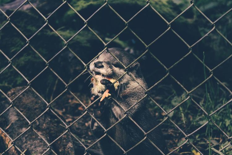 Animal Themes Behind Cage Captivity Chain Link Fence Chainlink Fence Close-up Day Fence Focus On Foreground Full Frame Holding Mammal Metal No People One Animal Outdoors Protection Safety Security Selective Focus Zoo Zoology