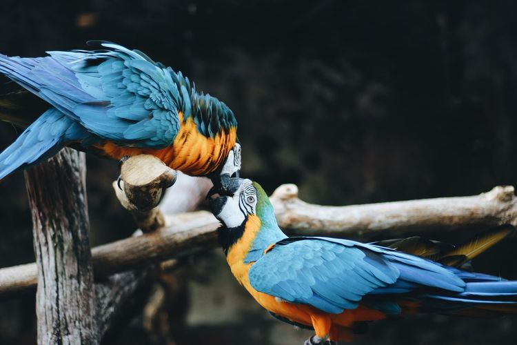 Close-Up Of Gold And Blue Macaws Perching On Branches