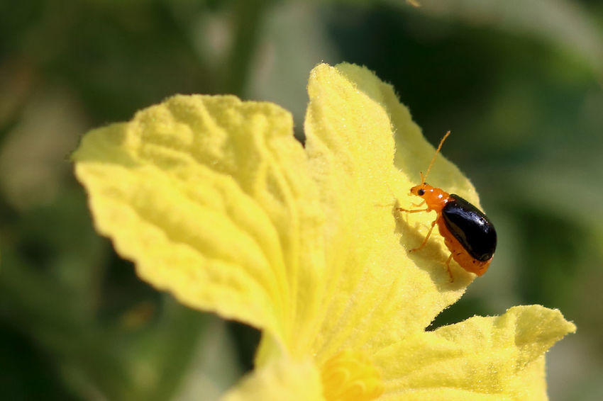 Bug Yellow Flower Bug Beetle Insect Outdoors Plant Orange Insect Macro Photography Macro Close-up