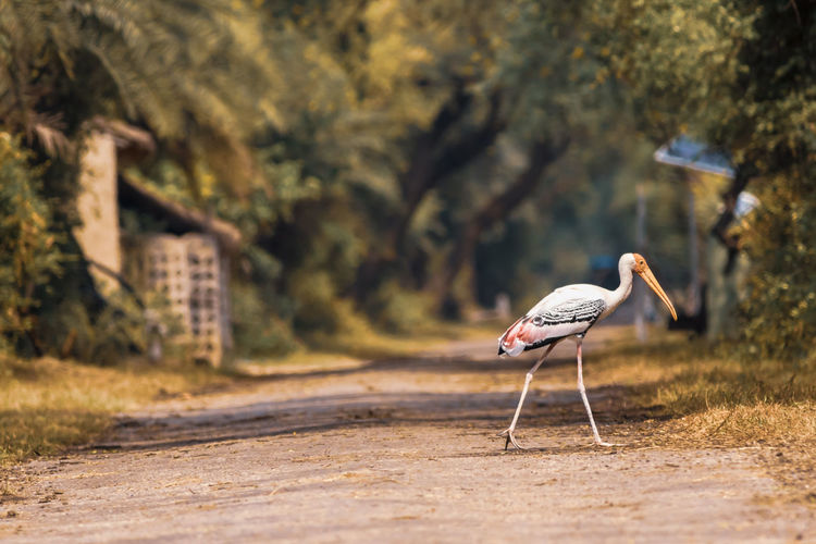 Side view of a bird walking on the ground